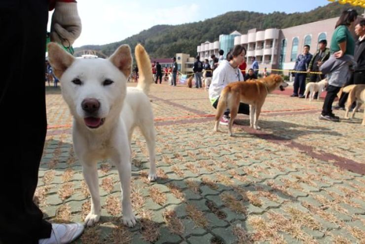 Jindo dogs are shown at a festival on Jin Island, South Jeolla Province, in this Oct. 30, 2010 photo. Korea Times file.