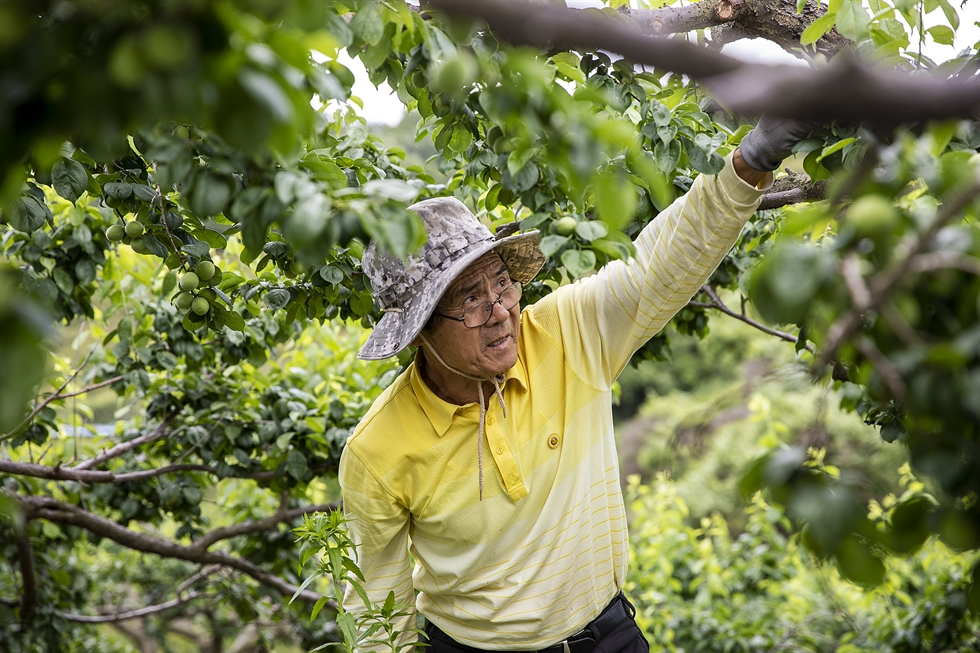 Wife Kim Gui-yim (left) and husband Jung Tae-jin (right) smile under a 'maesil' or plum tree in their orchard in Asan City, South Chungcheong Province, on May 25. Korea Times photo by Shim Hyun-chul