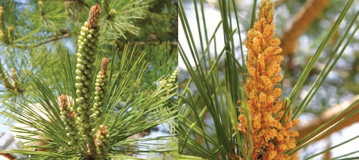 Korean red pines before (left) and after (right) pollen dispersal / Courtesy of the Korea Forest Service