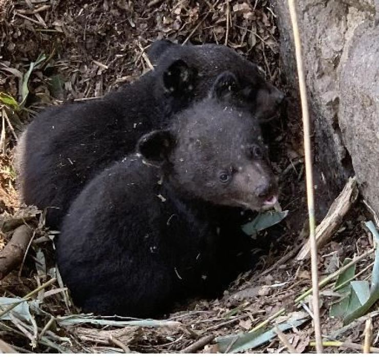 Six Asiatic black bear cubs were born on Mount Jiri this year, including these two. Yonhap
