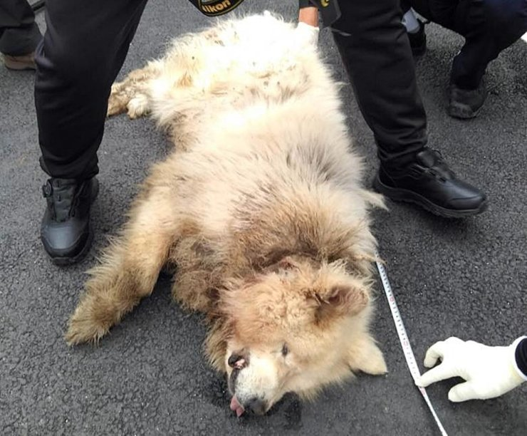 This photo provided by Namyangju Fire Station, Sunday, shows the dog that mauled a 59-year-old woman to death in Namyangju, Gyeonggi Province. Courtesy of Namyangju Fire Station