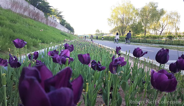 One of the great things about living in Seoul is the city government's dedication to planting flower gardens throughout the city. Flowers blooming along the bike lanes in the spring of 2019. Robert Neff Collection