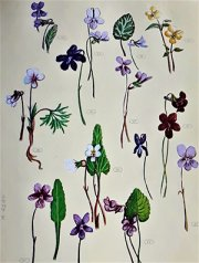 Violets blossomed everywhere in late spring and were known as the