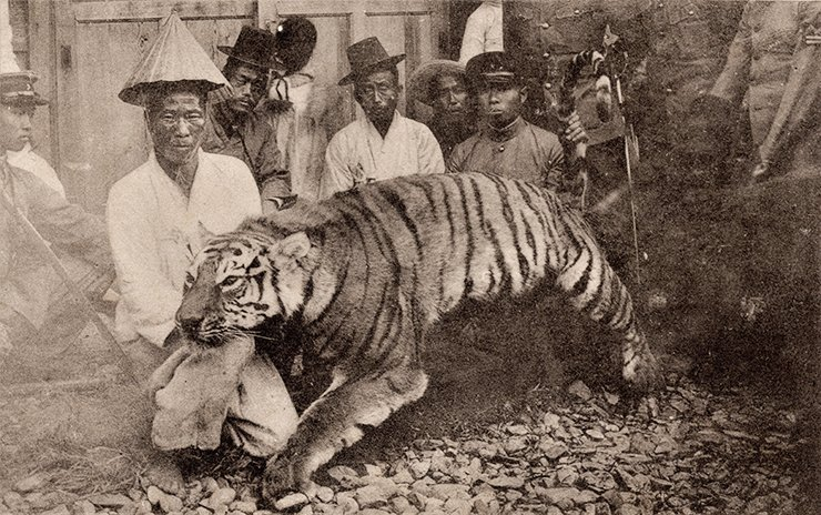 A Korean tiger killed in the early 1900s.  Courtesy of the Diane Nars Collection