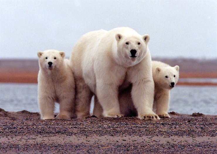 A polar bear keeps close to her young along the Beaufort Sea coast in Arctic National Wildlife Refuge, Alaska in a March 6, 2007. Reuters-Yonhap