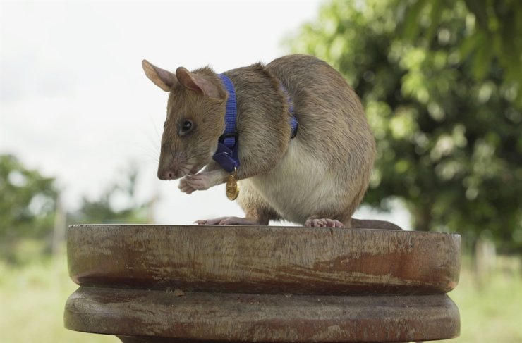 This file photo provided by the People's Dispensary for Sick Animals (PDSA) shows Cambodian landmine detection rat, Magawa, wearing his PDSA Gold Medal, the animal equivalent of the George Cross, Siem, Cambodia. AP-Yonhap