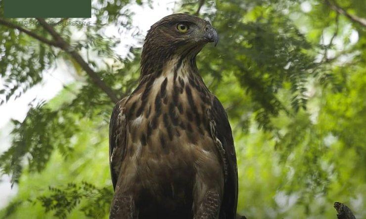 The endangered Philippine hawk-eagle lives in Masungi Georeserve. Courtesy of Philippine Department of Tourism Korea
