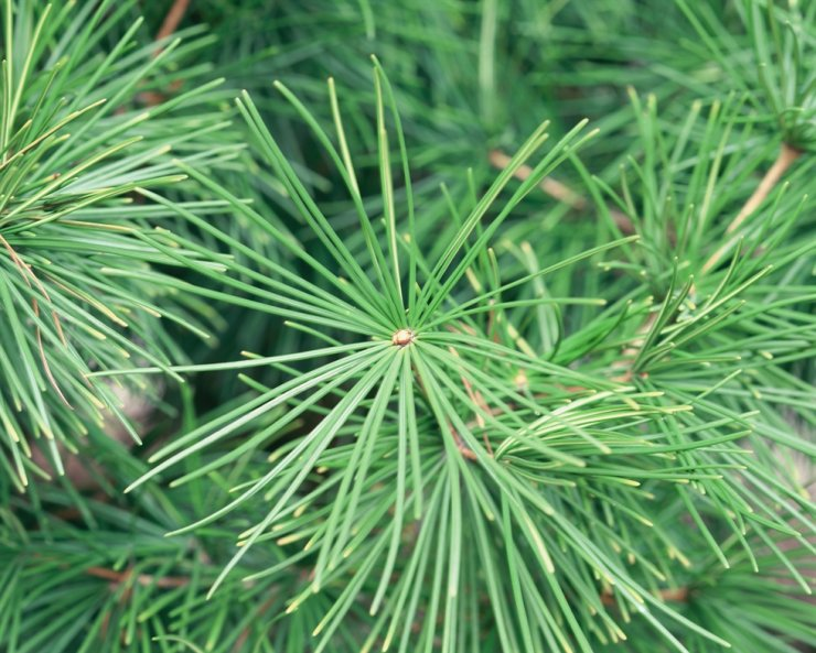 Pine needles in Korea can now be used to gauge the level of heavy metal air pollutants in particular areas. Gettyimagesbank