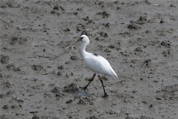 In this 2020 July file photo, National Institute of Ecology researchers release into the wild black-faced spoonbills they raised. Courtesy of the National Institute of Ecology