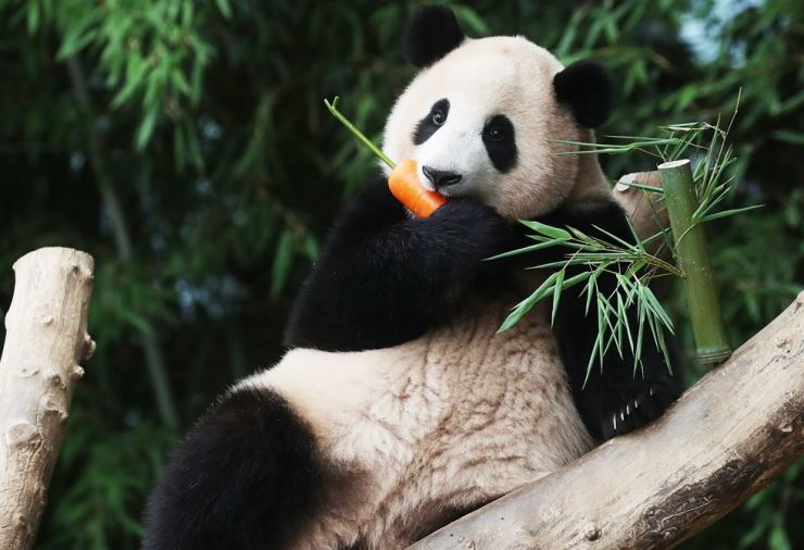 Baby panda Fu Bao eats a carrot at an online celebration of her first birthday at the Everland amusement park, in Yongin, Gyeonggi Province, Tuesday. The female cub is the first Korea-born panda and has grown to weigh over 40 kilograms, 200 times her size at birth. Yonhap