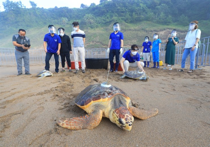 Sea turtles are released with GPS trackers on their shells, Aug. 26. Yonhap