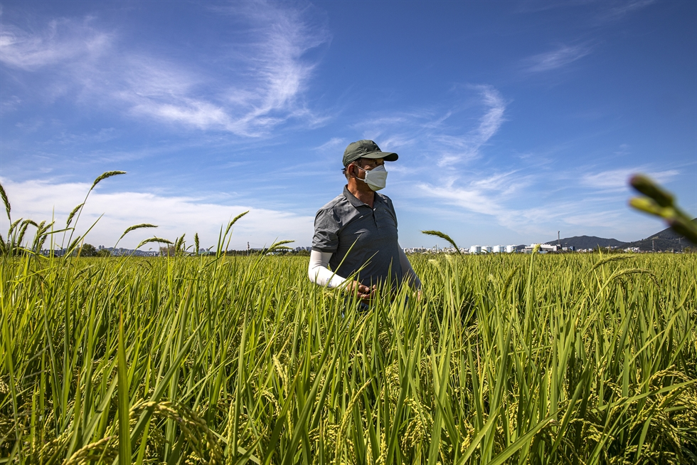 Rice farmer Kang Han-sung poses on his farm in Seoul's northwestern district of Gangseo, Thursday. His farm is located in Ogok-dong near Gimpo International Airport, and is one of Seoul's last remaining rice farming areas. Korea Times photo by Shim Hyun-chul