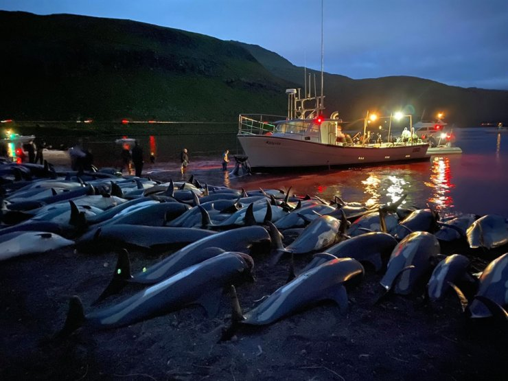 In this image released by Sea Shepherd Conservation Society, the carcasses of dead white-sided dolphins lay on a beach after being pulled from the blood-stained water on the island of Eysturoy, which is part of the Faeroe Islands, Sept. 12. AP-Yonhap