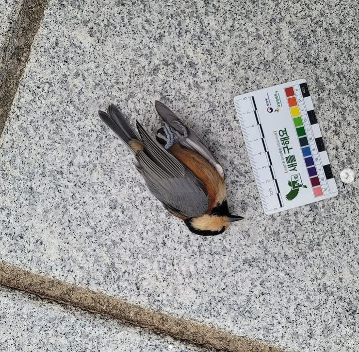 A varied tit lies dead on the ground next to the Ewha Campus Complex building at Ewha Womans University in Seoul in this Aug. 20 photo. Courtesy of the Window Strike Monitoring group at Ewha Womans University