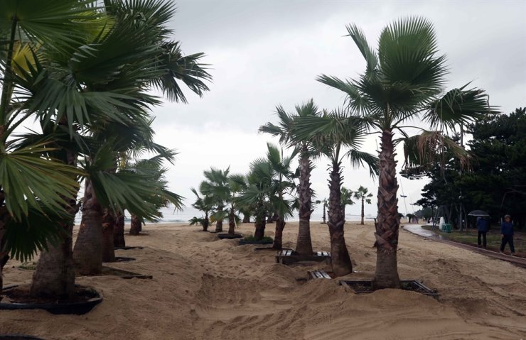 Palm trees are planted in rows on Gyeongpo Beach in Gangneung, Gangwon Province, to attract tourists, Sept. 17 photo. Yonhap