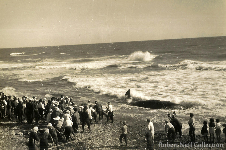 A close-up view of a whale stranded purportedly in Korea in 1946-47. Robert Neff Collection
