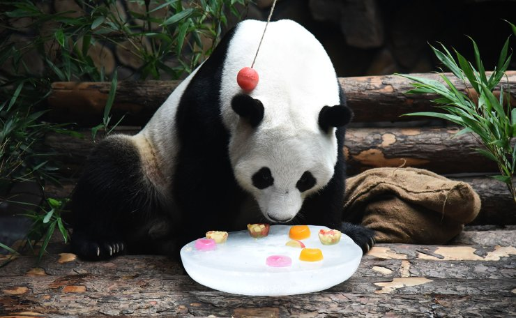 Giant panda 'Erxi' enjoys frozen fruit to cool off at Jinan Wildlife World in Jinan, east China's Shandong Province, July 15, 2019. Zoo authorities have taken measures to keep the giant panda cool in summer. Xinhua