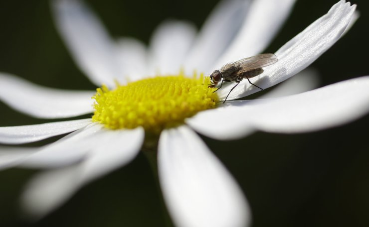 A fly feeds on chamomile nectar in a field on the outskirts of Minsk, Belarus, Thursday, July 11, 2019, during a sunny summer's evening. AP