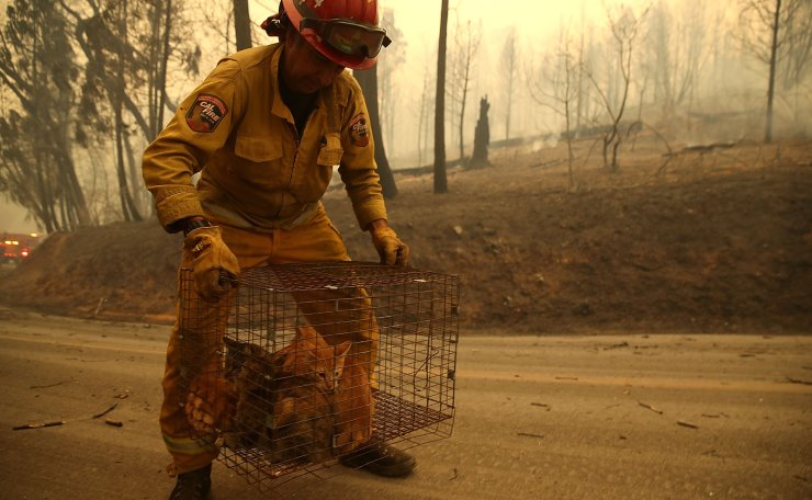Cal Fire Captain Steve Millosovich carries a cage full of cats that were found in the road after the Camp Fire moved through the area on November 9, 2018 in Big Bend, California. AFP