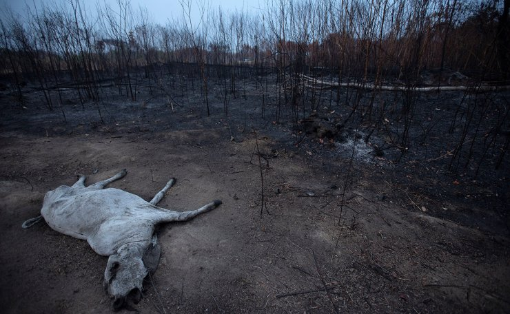 A the carcass of a bovine lies next to an area of burnt vegitation near Porto Velho, Amazon region, Brazil, 24 August 2019. About 150 kilometers from Porto Velho, in the regional capital of the Amazon state of Rondonia, a considerable part of the land has been buring for more than 24 hours and has already consumed more than five kilometers of the land. EPA