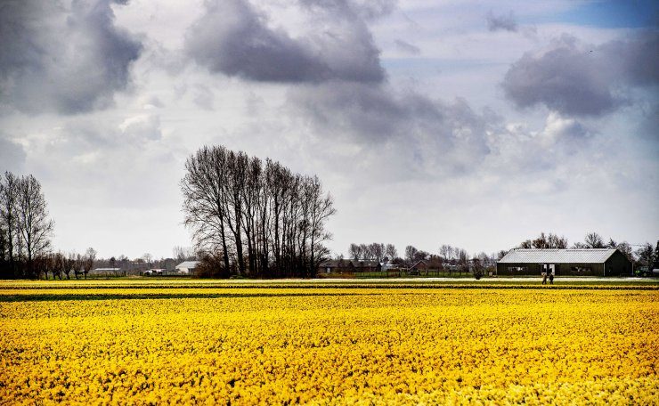 Fields with daffodils in bloom, Lisse, Netherlands, 26 March 2019. EPA
