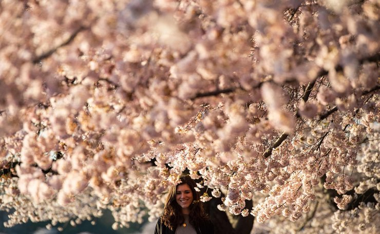 A woman stands  under cherry blossom trees as the sun rises at the Tidal Basin in Washington, DC on April 3, 2019. AFP