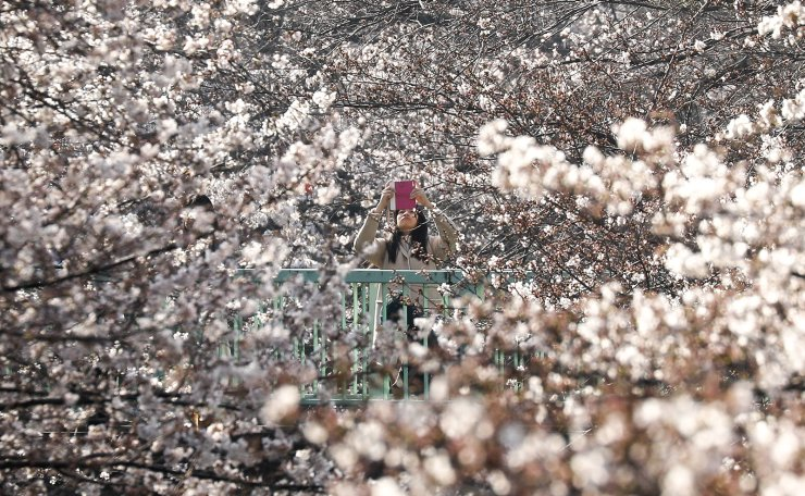 A woman takes pictures of cherry blossoms on a bridge in Tokyo, Japan, 26 March 2019. Cherry blossoms in Tokyo flowered on 21 March, Japan Meteorological Agency said. Temperatures in the central region of the Japanese capital rose over 15 degrees Celsius, which is usual for the time of the year. Cherry blossoms are expected to be in full bloom in central Tokyo at this end of this month. EPA