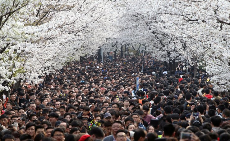 Visitors flocked a street under blooming cherry blossoms near Jiming Temple in Nanjing, Jiangsu province, China March 23, 2019. Picture taken March 23, 2019. Reuters