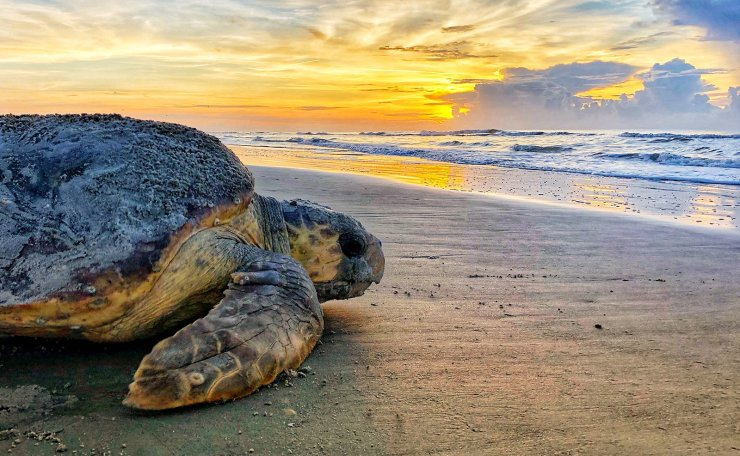 In this June 30, 2019, photo provided by the Georgia Department of Natural Resources, a loggerhead sea turtle returns to the ocean after nesting on Ossabaw Island, Ga. The giant, federally protected turtles are having an egg-laying boom on beaches in Georgia, South Carolina and North Carolina, where scientists have counted record numbers of nests this summer. AP