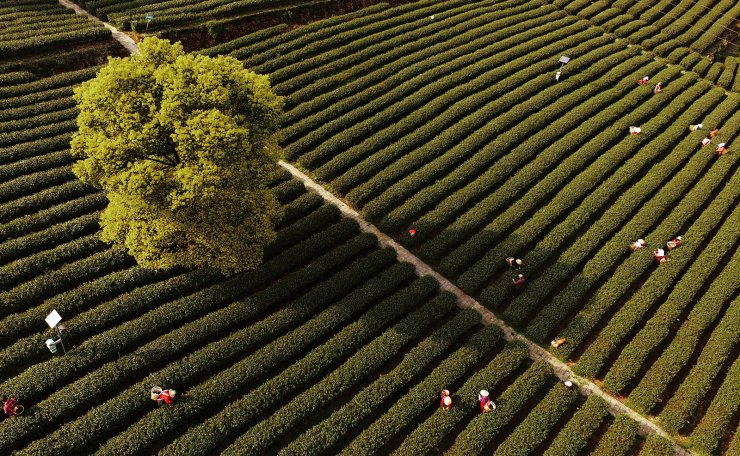 Aerial photo taken on March 18, 2019 shows people picking spring tea leaves at Baixiang Mountain in southwest China's Chongqing. Located in southwest China, Chongqing is the only municipality in central and west China. Xinhua