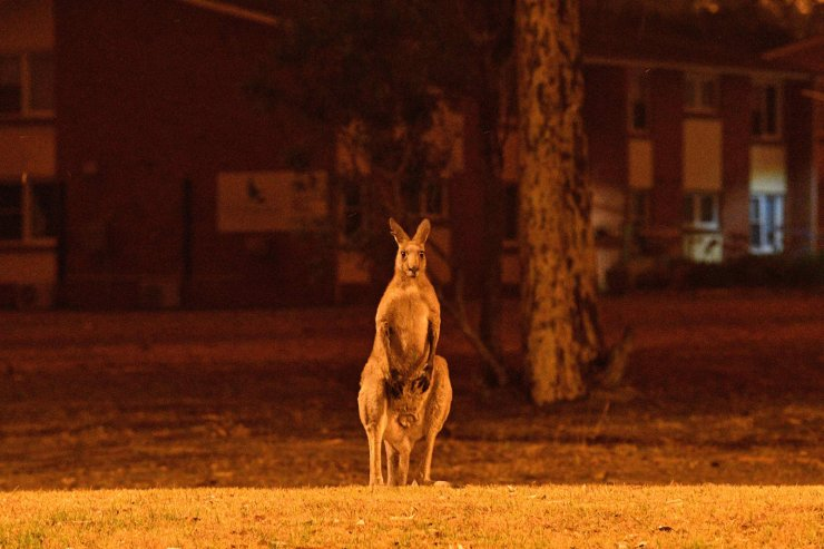 A kangaroo trying to move away from nearby bushfires at a residential property near the town of Nowra in the Australian state of New South Wales, Dec. 31, 2019. AFP