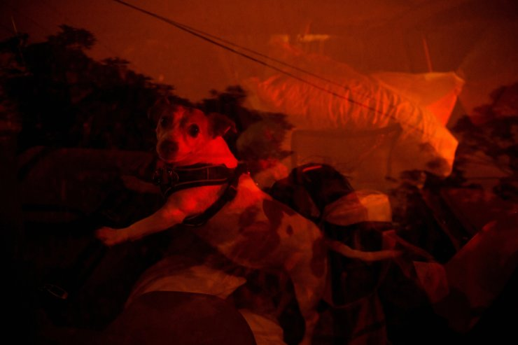 A dog is evacuated in the back of a car as high winds push smoke and ash from the Currowan Fire towards Nowra, New South Wales, Australia Jan. 4, 2020. REUTERS