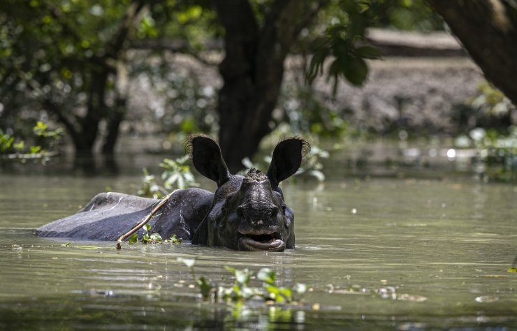 A one horned rhinoceros wades through flood water at the Pobitora wildlife sanctuary in Pobitora, Morigaon district, Assam, India, Thursday, July 16, 2020. Floods and landslides triggered by heavy monsoon rains have killed dozens of people in this northeastern region. The floods also inundated most of Kaziranga National Park, home to an estimated 2,500 rare one-horned rhinos. AP