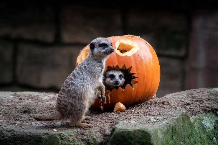 Meerkats inspect a pumpkin in their enclosure of the zoo in Hanover, northern Germany, on October 24, 2019, days before Halloween. AFP