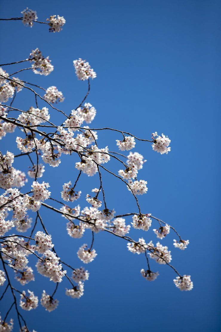 Pinky-white cherry blossom petals are a harbinger of spring. Korea Times photo by Shim Hyun-chul