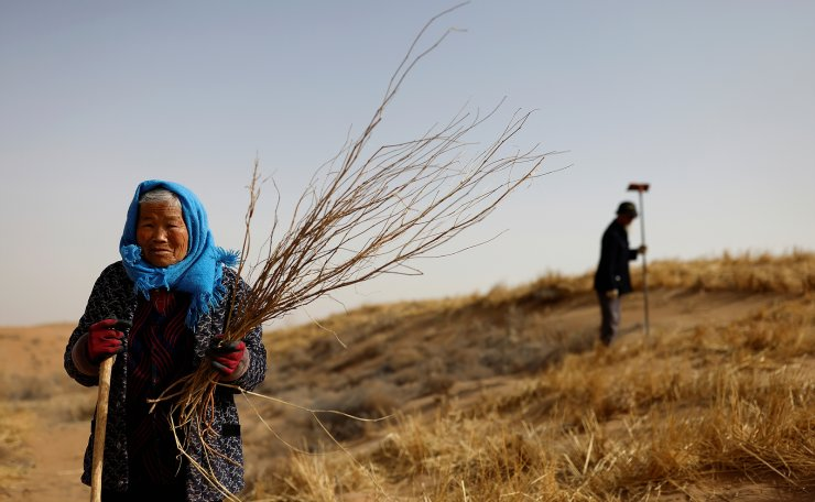 Li Lanying, poses for a picture with shoots of Huabang, a yellow flowering bush known as the 'sweetvetch', as she plants them with her family on edge of the Gobi desert on the outskirts of Wuwei, Gansu province, China, April 15, 2021. Tree-planting has been at the heart of China's environmental efforts for decades as the country seeks to turn barren deserts and marshes near its borders into farmland. The flowering bush known as the sweetvetch has an 80% success rate even in harsh desert conditions and has become a key part of efforts to 'hold down the sand'. REUTERS