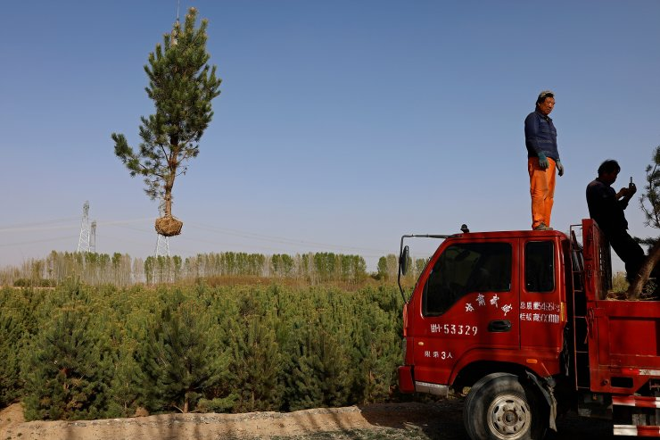 A tree is lifted with a crane before being placed on a truck at Toudunying state-owned commercial forest estate in a village near the edge of the Gobi desert, on the outskirts of Wuwei, Gansu province, China, April 16, 2021. Over the last four decades, the Three-North Shelter Forest Programme tree-planting scheme, known colloquially as the 'Great Green Wall', has helped raise total forest coverage to nearly a quarter of China's total area, up from less than 10% in 1949. In Hongshui trees have become a major part of the local economy and the area is dominated by a large state-owned commercial forest estate called Toudunying. REUTER