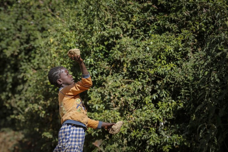 A farmer's daughter throws a rock to chase away swarms of locusts from her crops in Elburgon, in Nakuru county, Kenya Wednesday, March 17, 2021. AP