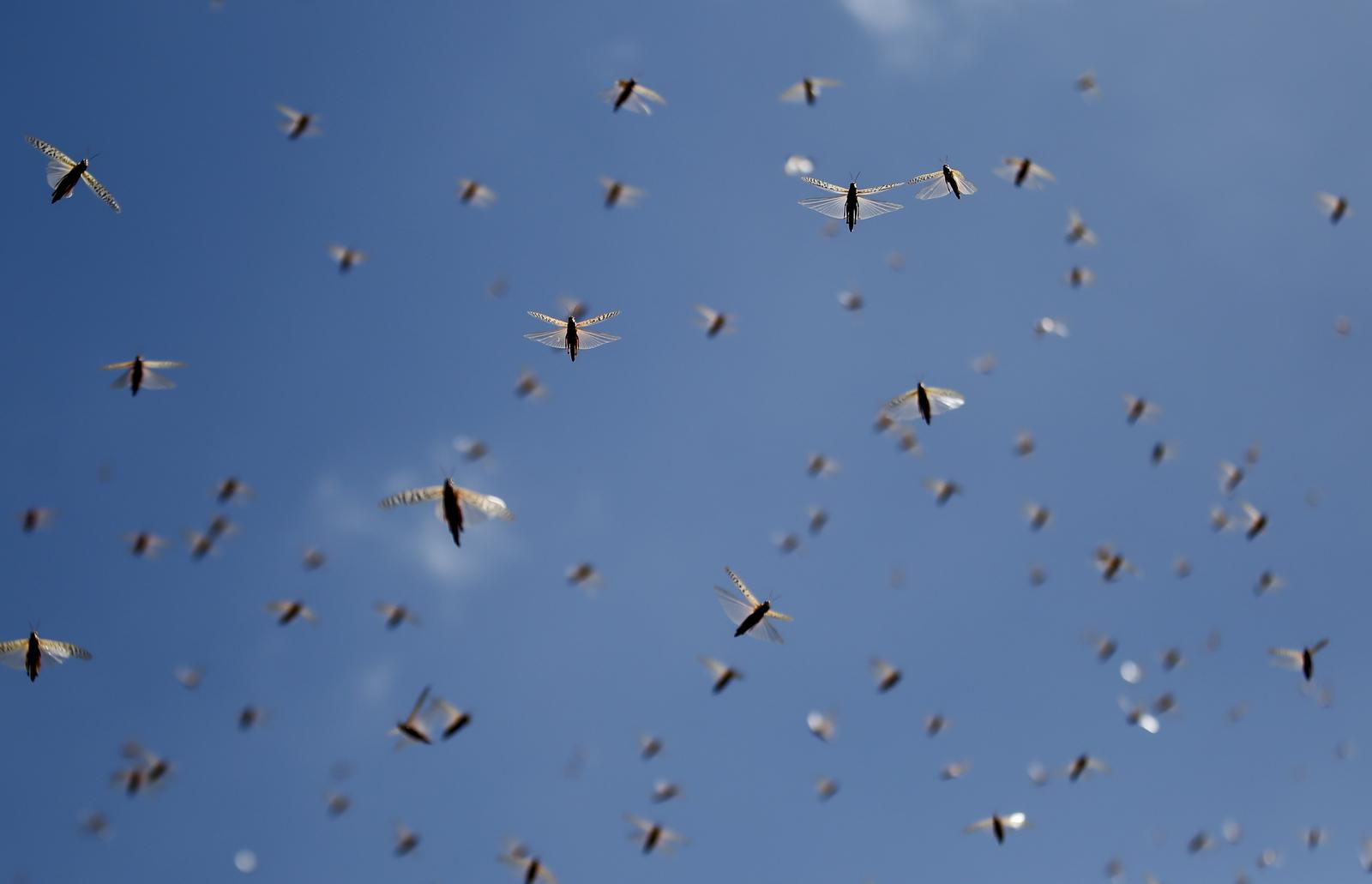Locusts take flight in the morning in Elburgon, in Nakuru county, Kenya Wednesday, March 17, 2021. AP