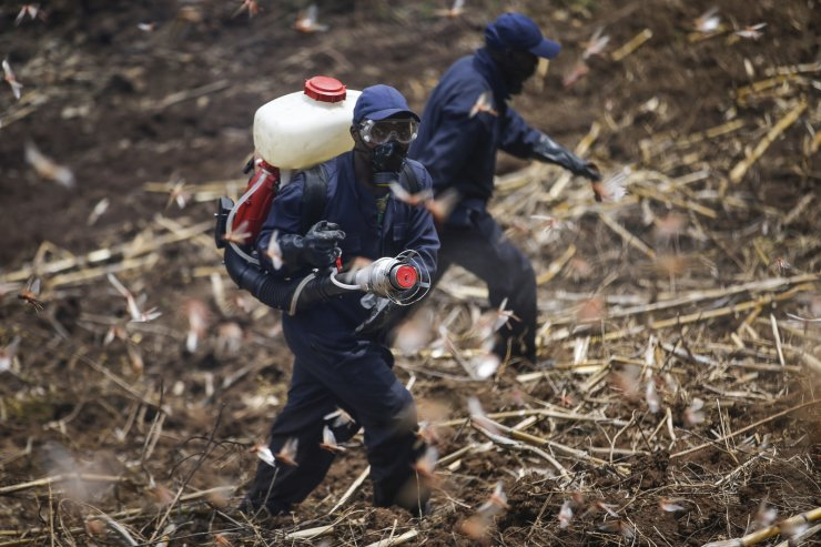 Members of the National Youth Service spray pesticide on locusts at a farm in Elburgon, in Nakuru county, Kenya Wednesday, March 17, 2021. AP