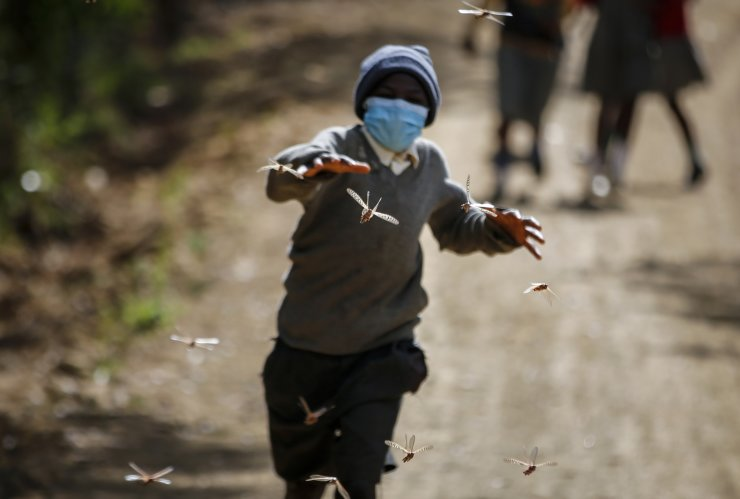 Stephen Mudoga, 12, the son of a farmer, chases locusts as he returns home from school, at Elburgon, in Nakuru county, Kenya Wednesday, March 17, 2021. AP