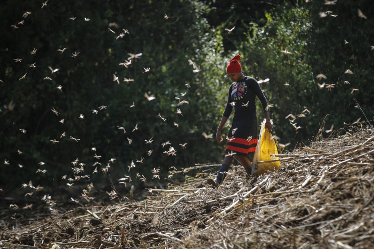 A woman catches locusts to be sold as poultry feed to a local vendor, on a farm in Elburgon, in Nakuru county, Kenya Wednesday, March 17, 2021. AP