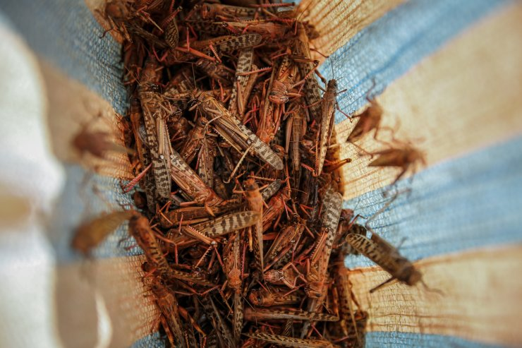 A farmer's daughter shows locusts she caught to be sold as poultry feed to a local vendor in Elburgon, in Nakuru county, Kenya Wednesday, March 17, 2021. AP