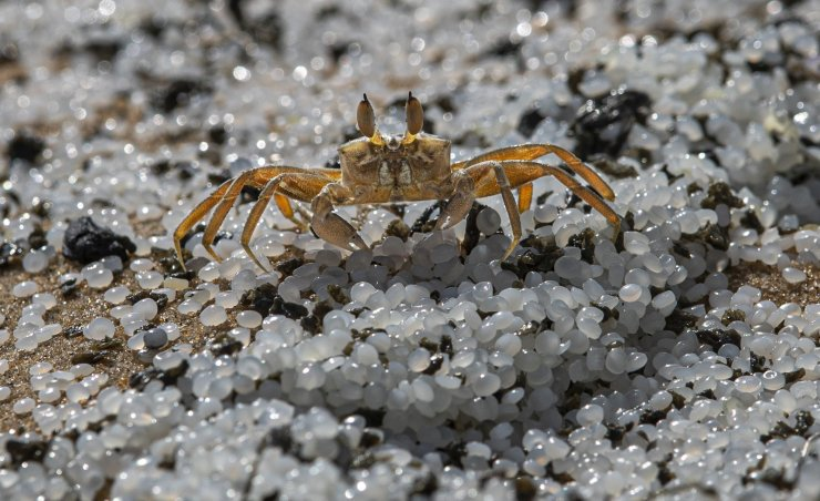 A crab roams on a beach polluted with polythene pellets that washed ashore from burning ship MV X-Press Pearl anchored off Colombo port at Kapungoda, out skirts of Colombo, Sri Lanka, Monday, May 31, 2021. The fire on the Singapore-flagged ship has been burning since May 20, ravaging the ship. Debris from the burning ship that has washed ashore is causing severe pollution on beaches. AP