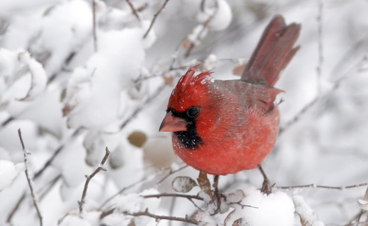 A cardinal perches on snow-covered twigs in Lawrence, Kan., Sunday, Nov. 25, 2018. A snowstorm had the area in a blizzard warning for several hours. AP