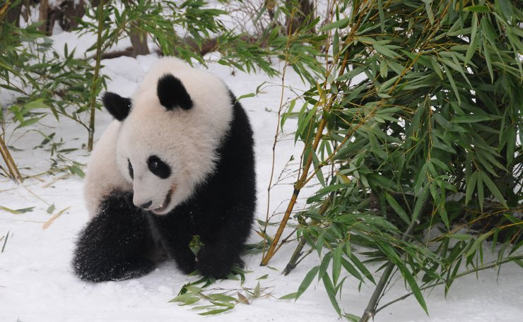 Giant panda Fu Feng has bamboos in the snow-covered Panda garden at Zoo Vienna in Vienna, Austria, on Dec. 1, 2018. Xinhua