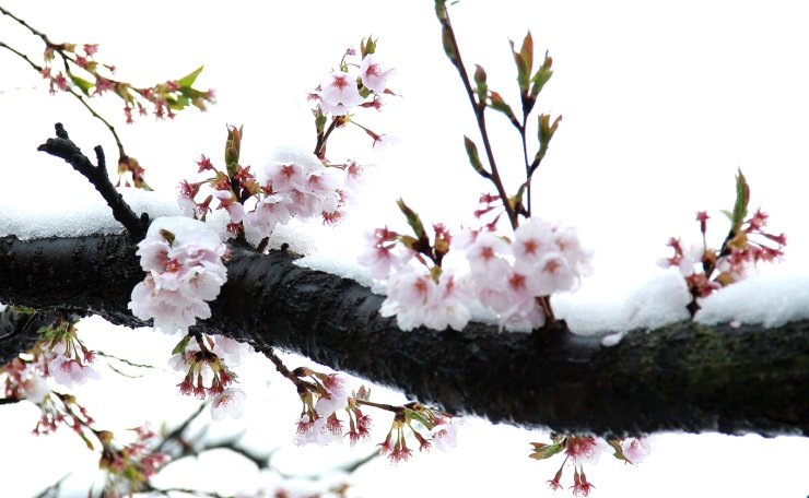 A snow-coated cherry blossom tree in Yeongju, North Gyeongsang Province, Wednesday. Yonhap