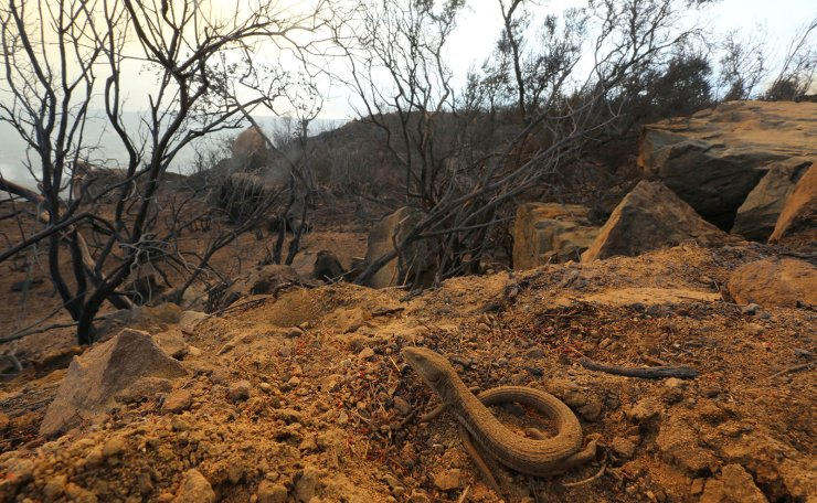 A lizard that appears to have survived the fire under dirt emerges at a wildfire dubbed the Cave Fire, burning in the hills of Santa Barbara, California, U.S., November 26, 2019. Reuters