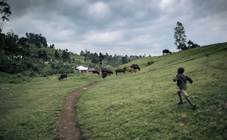 A child runs to a cow herd in Burungu, near a eucalyptus plantation of the WWF (World Wildlife Fund) Ecomakala project to reduce illegal charcoal production in Masisi territory, northeastern Democratic Republic of Congo, on September 28, 2019. AFP