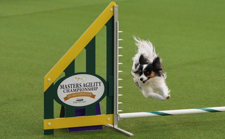 A dog competes in the Masters Agility Championship during the Westminster Kennel Club Dog Show in New York, U.S., February 8, 2020. Reuters